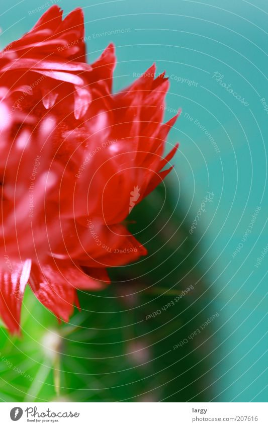Plant Red Blossom Esthetic Blossoming Cactus Section of image Blossom leave Houseplant Cactus flower