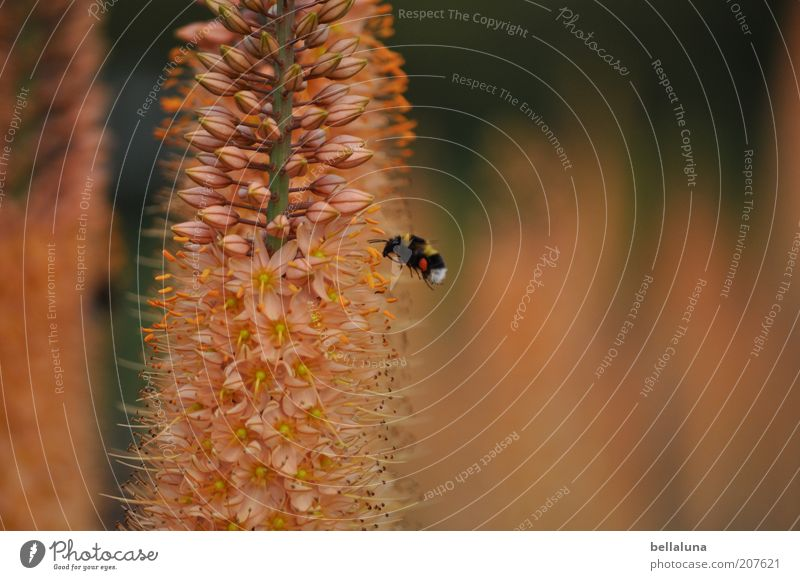 bumblebee flight Environment Nature Plant Animal Warmth Flower Blossom Wild plant Wild animal 1 Flying Insect Bumble bee Warm light Sprinkle Warm colour