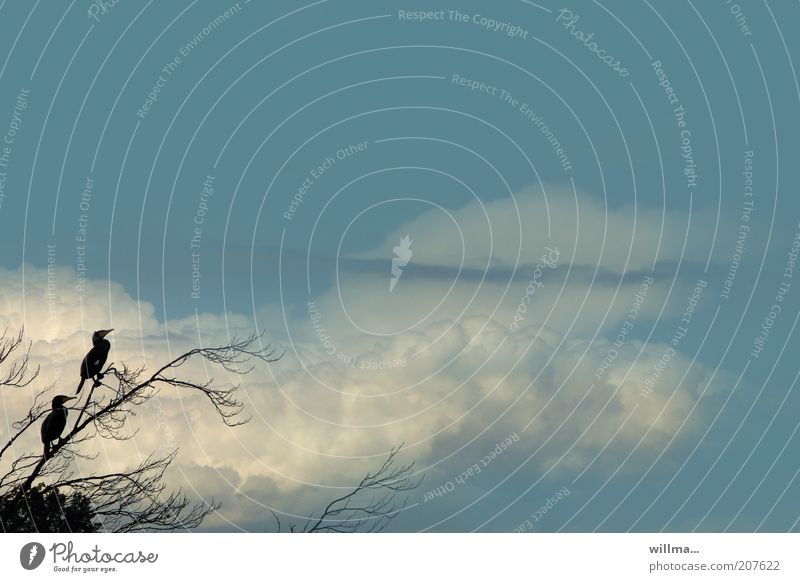 Sky Blue Calm Clouds Bird Wait Pair of animals Sit In pairs Branch Environmental protection Structures and shapes Cormorant Web-footed birds Endangered species