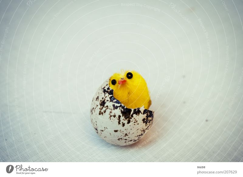 Yellow Funny Bird Beginning Fresh Exceptional Decoration New Kitsch Easter Mature Egg To break (something) False Birth Vignetting