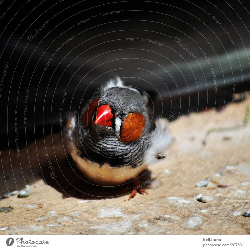 What are you looking at??? Environment Nature Animal Bird 1 Finch Zebra Finch Sunlight Animal face Animal portrait Looking into the camera Beak Red Close-up