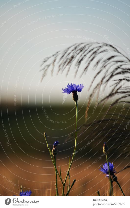 Nature Sky Flower Plant Summer Blossom Grass Weather Environment Growth Climate Beautiful weather Cornflower Agricultural crop Cloudless sky Wild plant