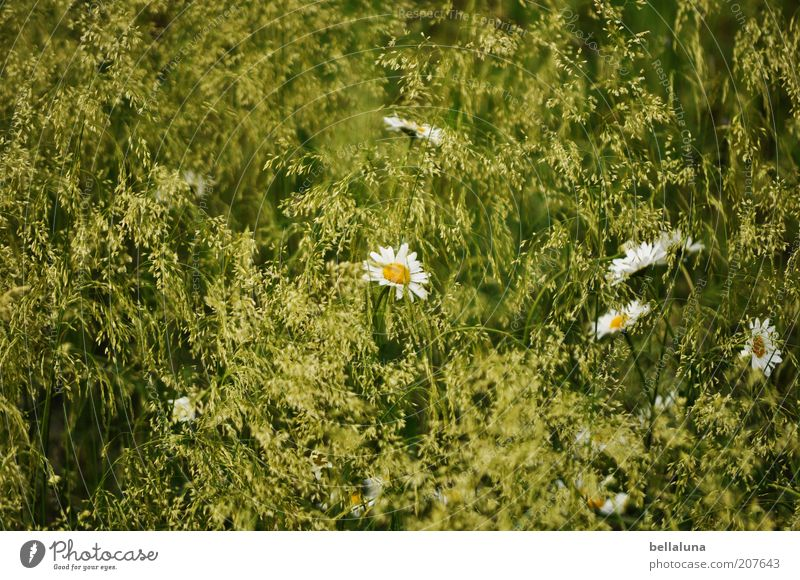wonderful summer Environment Nature Plant Climate Weather Beautiful weather Warmth Flower Grass Blossom Foliage plant Wild plant Meadow Field Growth Marguerite