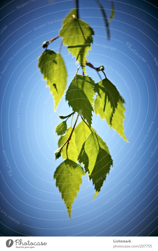 Sky Tree Green Blue Plant Leaf Style Pure Branch Twig Foliage plant Suspended