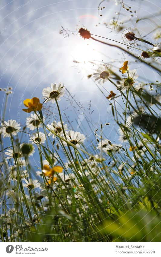 Nature White Sun Blue Plant Summer Yellow Relaxation Meadow Blossom Grass Perspective Growth Blossoming Upward Botany