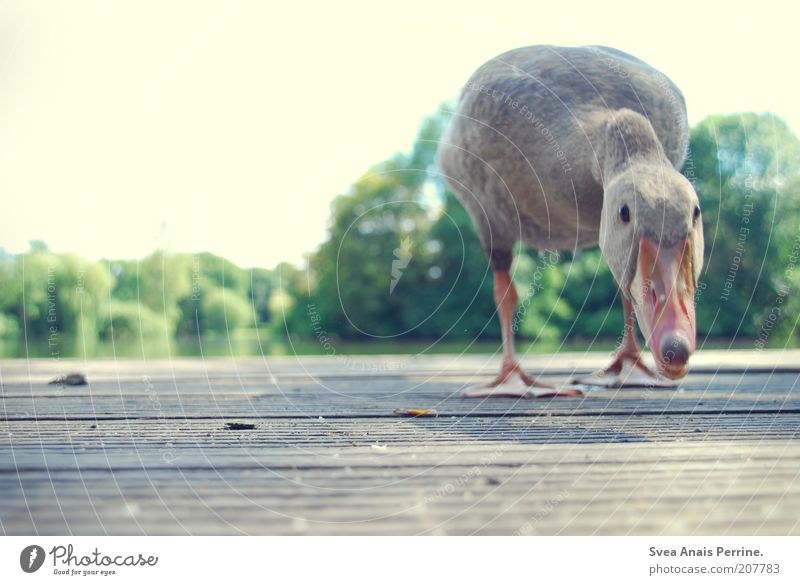 very close. Cloudless sky Beautiful weather Bird Goose 1 Animal Observe Beak Footbridge Curiosity Water Colour photo Subdued colour Exterior shot Deserted