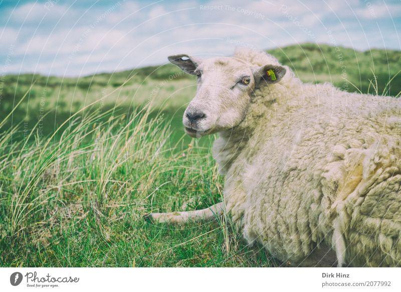 Take a break! Island Nature Water North Sea Watchfulness Serene North Frisland Schleswig-Holstein Sylt Nordic Sheep Meadow Grass Heathland Tourism