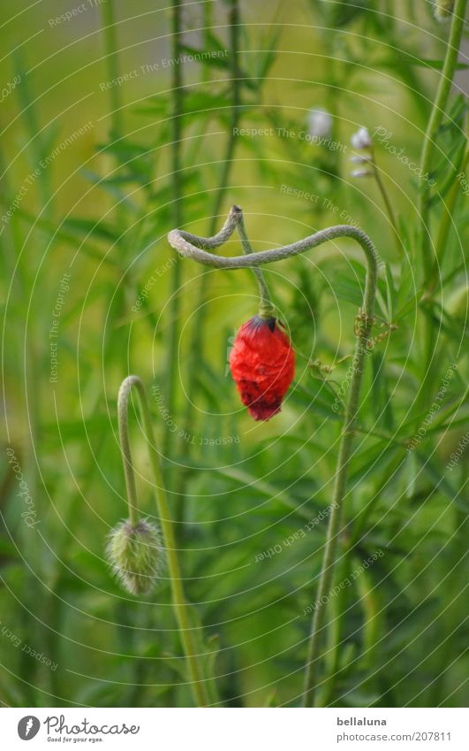 Don't hang your head! Environment Nature Plant Climate Weather Beautiful weather Flower Grass Blossom Foliage plant Wild plant Growth Poppy Poppy blossom