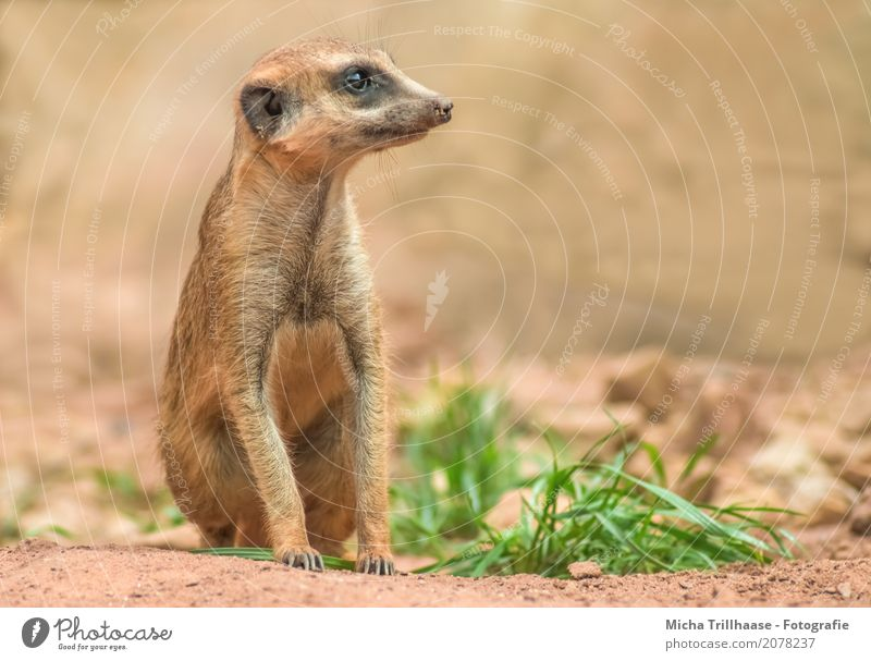 Sitting Meerkat Portrait Nature Animal Sun Sunlight Beautiful weather Plant Grass Wild animal Animal face Pelt Claw Paw Zoo 1 Stone Sand Observe To feed
