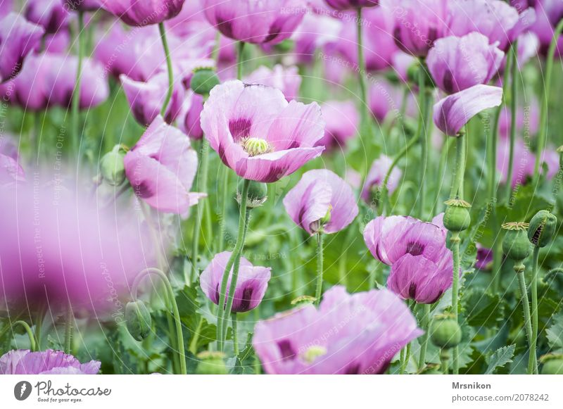 poppy field Nature Spring Summer Plant Blossom Agricultural crop Garden Park Meadow Field Fragrance Uniqueness Leisure and hobbies Idyll Infinity Poppy