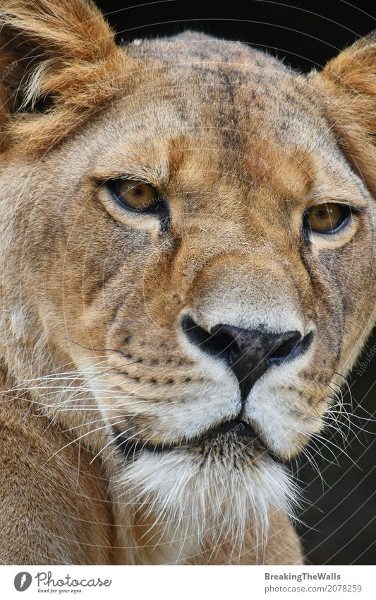Extreme close up portrait of lioness looking at camera Nature Animal Dark Black Eyes Head Wild Wild animal Vantage point Might Strong Mammal Zoo Snout Lion