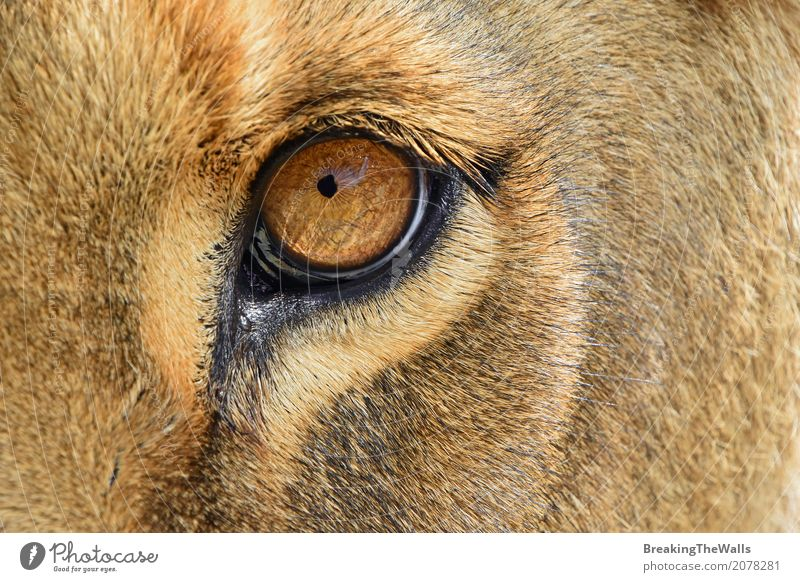 Extreme close up of lioness eye looking at camera Nature Beautiful Animal Yellow Eyes Brown Head Wild Fear Wild animal Dangerous Might Curiosity Strong Brave