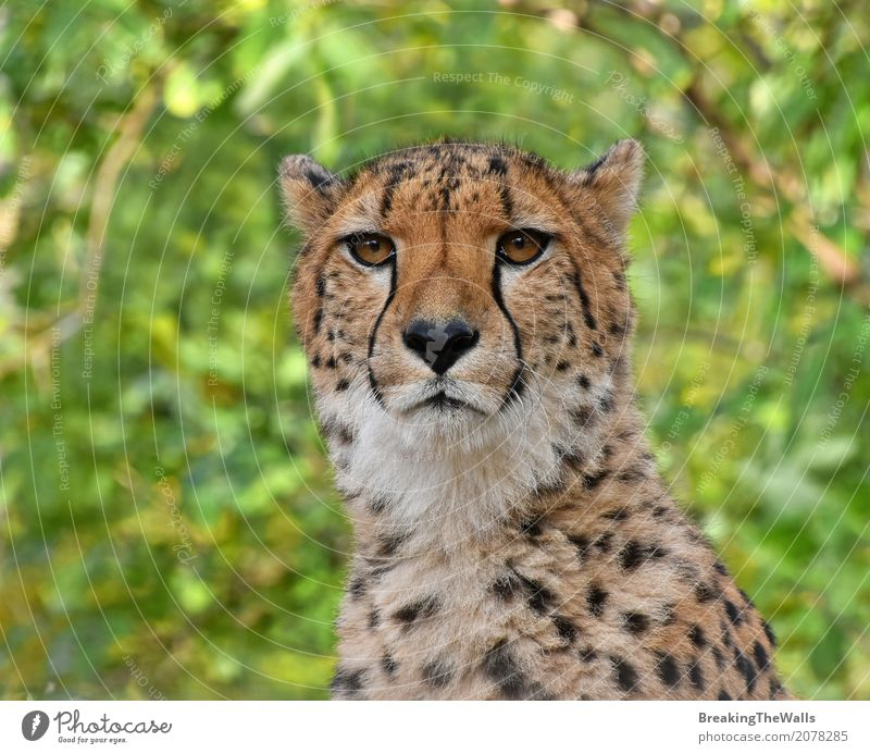 Close up portrait of cheetah looking at camera over green Nature Summer Green Animal Eyes Wild Wild animal Vantage point Cute Watchfulness Mammal Animal face