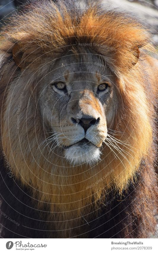 Close up portrait of cute lion with beautiful mane Nature Animal Wild animal Cat Animal face Zoo 1 Looking Beautiful Cute Might Brave Lion Mature Snout Mane