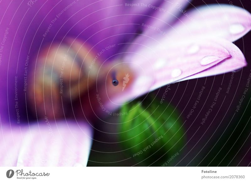 purple Environment Nature Plant Animal Elements Water Drops of water Summer Rain Flower Blossom Garden Snail 1 Small Near Wet Natural Brown Green Violet Feeler