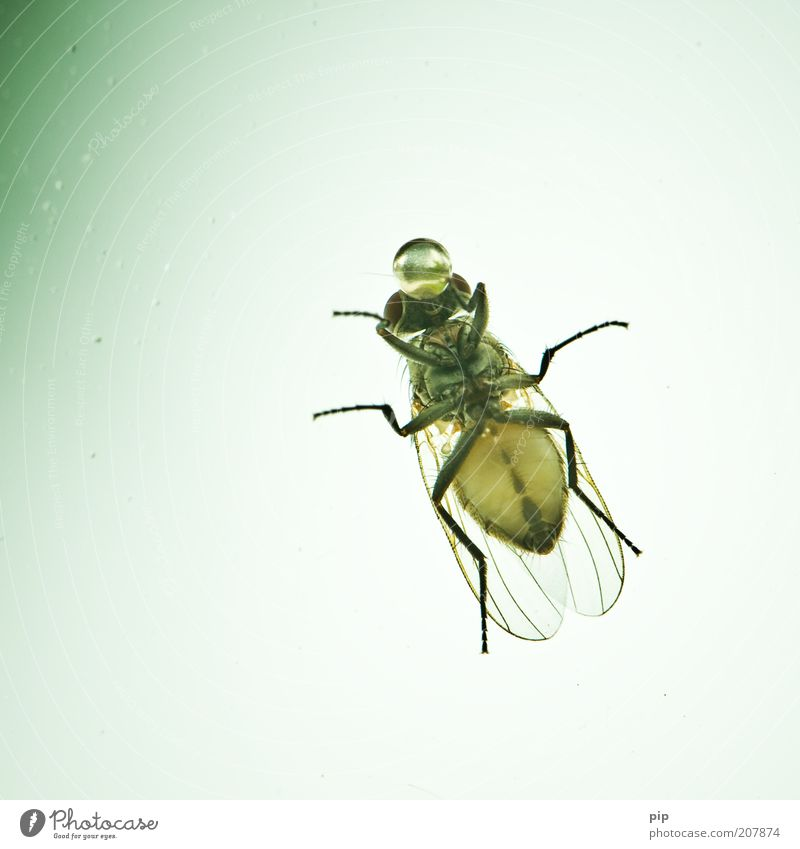 Water Animal Air Legs Bright Dirty Fly Drops of water Large Break Drinking Near Drop Wing Insect