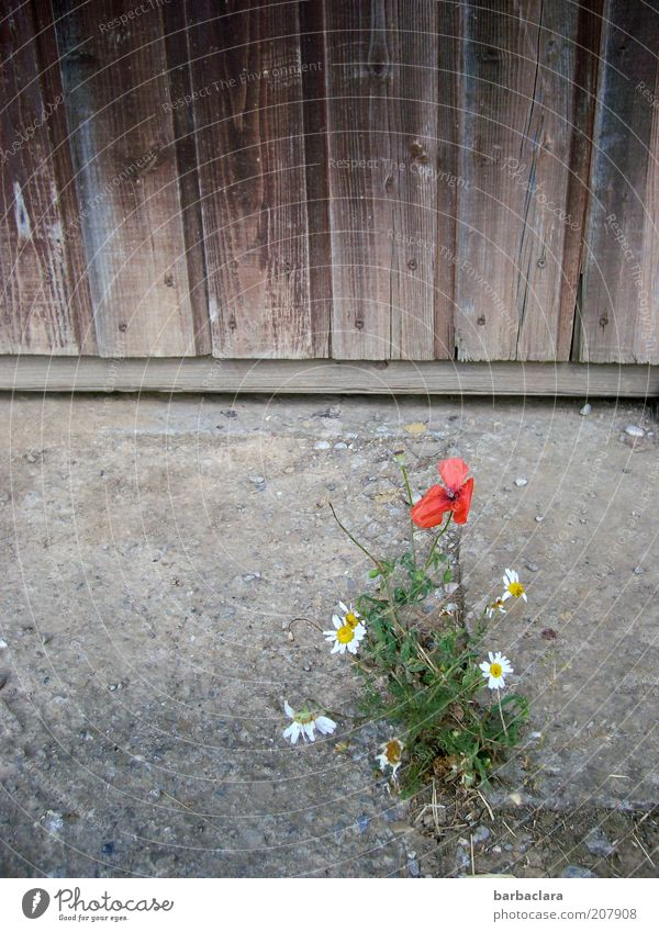 Flower Plant Summer Wall (building) Blossom Wood Stone Warmth Sand Facade Simple Poppy Dry Wooden board Barn Drought