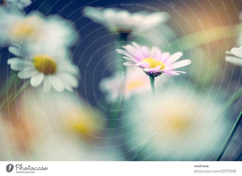 Nature Plant Blue Summer Beautiful Flower Dye Blossom Style Together Pink Park Illuminate Elegant Gold Birthday