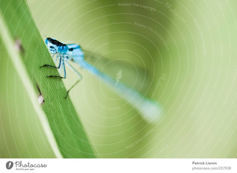 Blue-faced Damselfly Environment Nature Plant Animal Summer Grass Wild animal Animal face Wing 1 Dragonfly Green Looking Beautiful Calm Colour photo Detail
