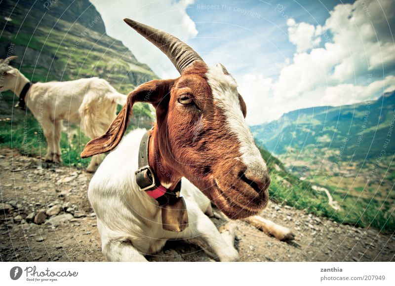 White Summer Clouds Animal Mountain Brown Wait Sit Animal face Lie Alps Serene Beautiful weather Wide angle Antlers Bell