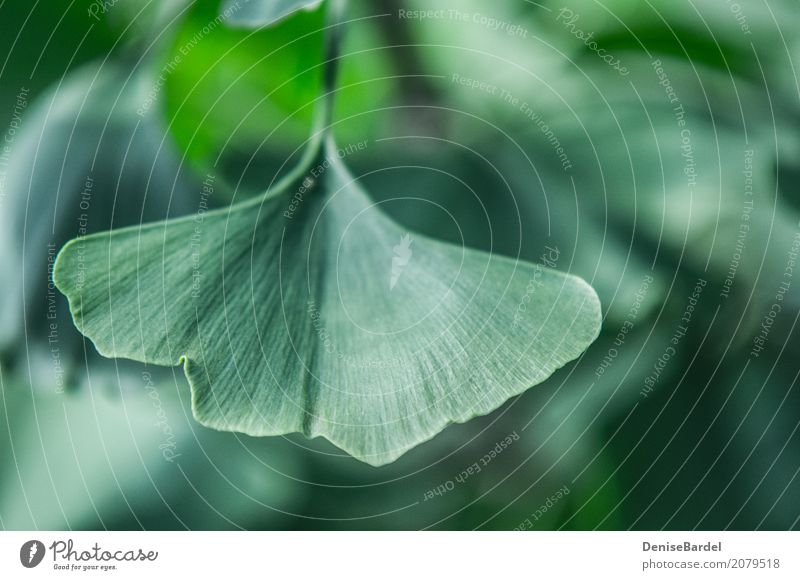 A Gingko Biloba leaf in focus Health care Leaf Ginko Garden Park Forest Healthy Green Contentment Relaxation Sustainability Environment Environmental pollution