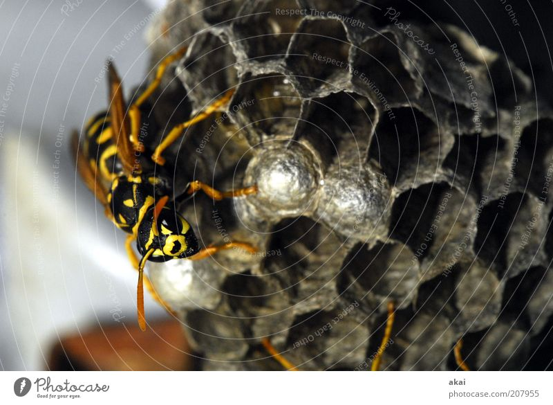 Guardian of the brood - Wasp Nature Summer Animal Wild animal Animal face Grand piano 1 Crawl Yellow Black Diligent Disciplined Endurance Resolve Wasps' nest