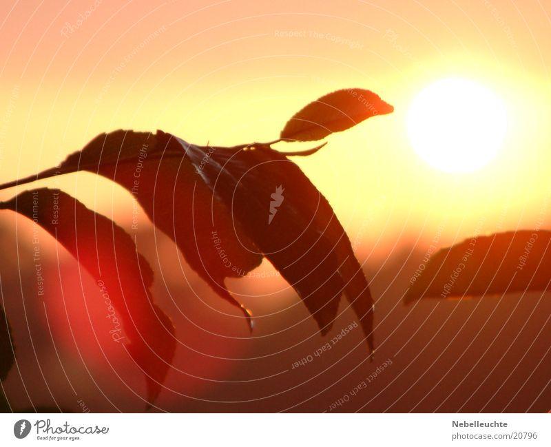 Sun Red Leaf Rain