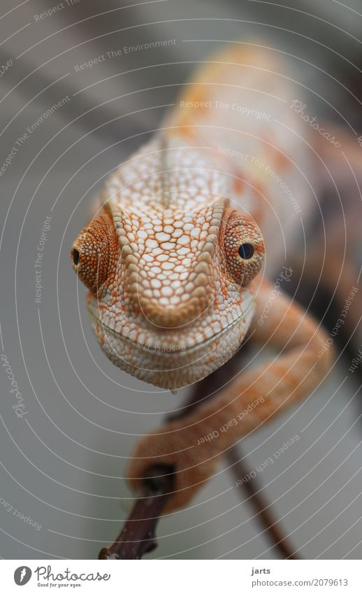 karl-heinz I Wild animal 1 Animal Crawl Looking Exceptional Funny Optimism Serene Nature Chameleon Curiosity Scales Eyes Climbing Smiling Colour photo