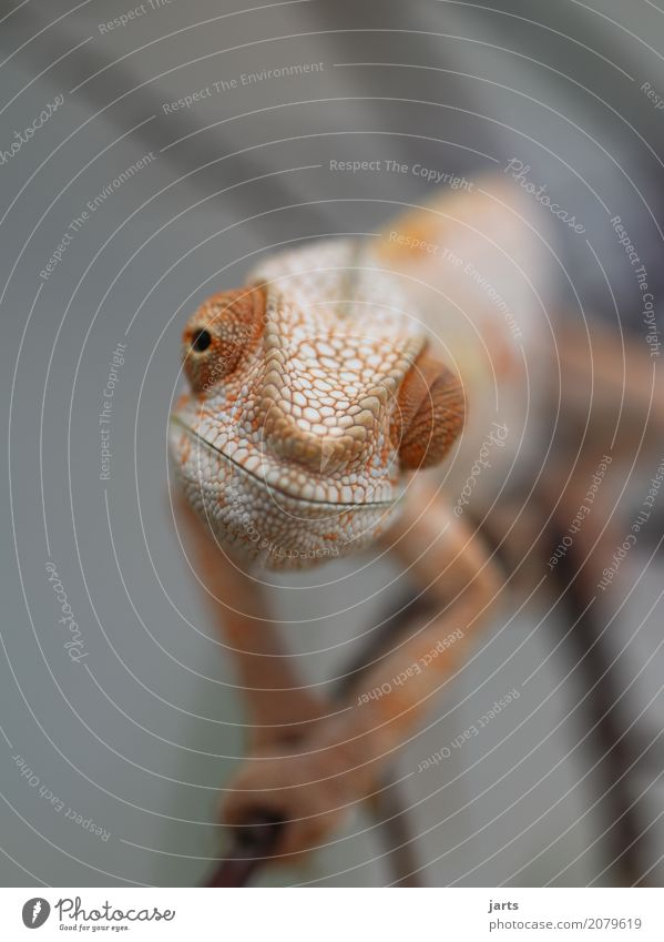 karl-heinz III Animal Wild animal 1 Crawl Looking Exceptional Friendliness Calm Chameleon Hide Scales Eyes Climbing Serene Cool (slang) Colour photo