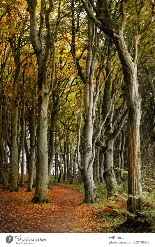 # Ghost forest in the autumn # Nature Plant Autumn Beech wood Beech tree Tree Autumnal colours Autumn leaves Forest Nienhagen Nature reserve Lanes & trails Tall