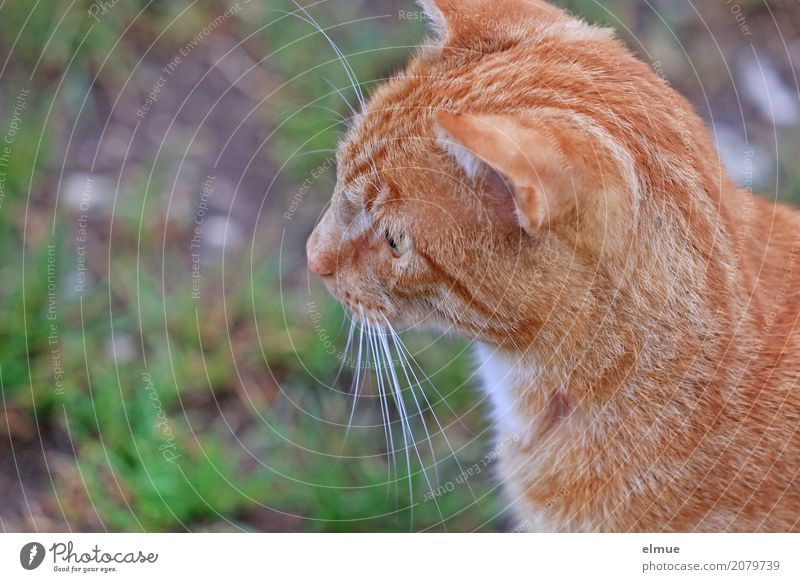tense Pet Cat Pelt Coat color Tiger skin pattern Whisker Ear Domestic cat Observe Looking Blonde Beautiful Cuddly Cute Smart Red Optimism Watchfulness Patient