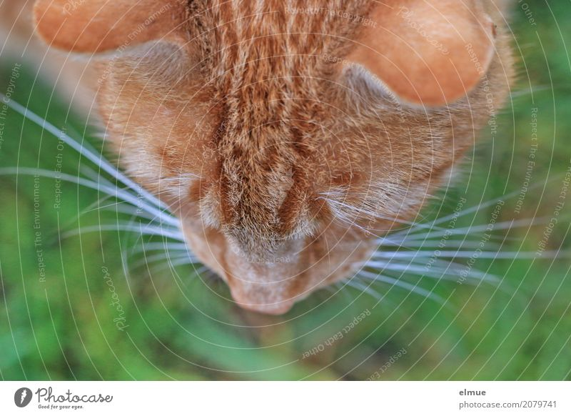 BirdPerspective Pet Cat Pelt Coat color Whisker Nose Ear Observe Looking Cool (slang) Cuddly Wild Soft Red Anticipation Romance Watchfulness Curiosity Interest
