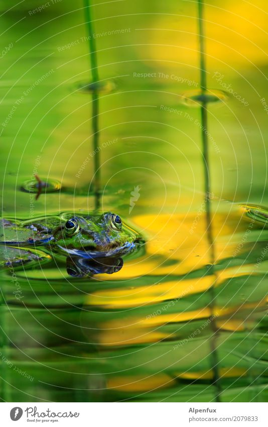 Frog king with gold ball Environment Nature Landscape Animal Water Garden Park Pond Lake Brook Wild animal 1 Swimming & Bathing Kissing Jump Dream Wait