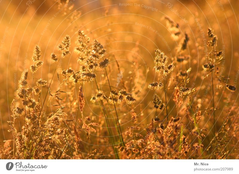 gold Environment Nature Landscape Sunrise Sunset Sunlight Summer Beautiful weather Plant Grass Bushes Field Yellow Gold Idyll Summery Summer's day Weed Wayside