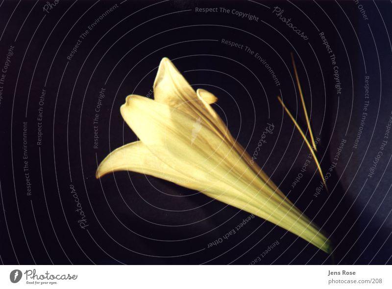 Blossom Lily Flower