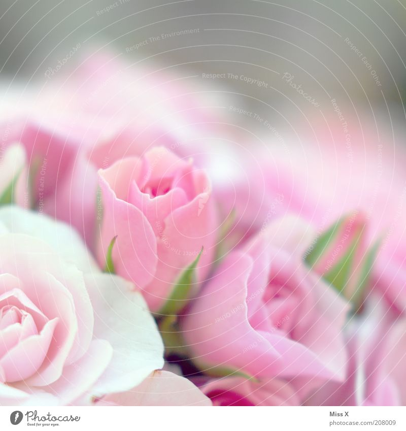 Girls photo high2 Fragrance Valentine's Day Mother's Day Plant Flower Rose Blossom Blossoming Beautiful Pink Pure Rose blossom Delicate Colour photo Close-up