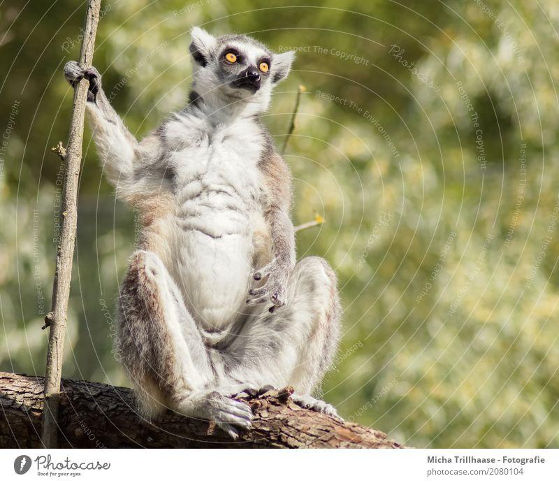Everything at a glance Nature Animal Sun Sunlight Beautiful weather Plant Tree Wild animal Animal face Pelt Paw Monkeys Ring-tailed Lemur Half-apes Eyes 1