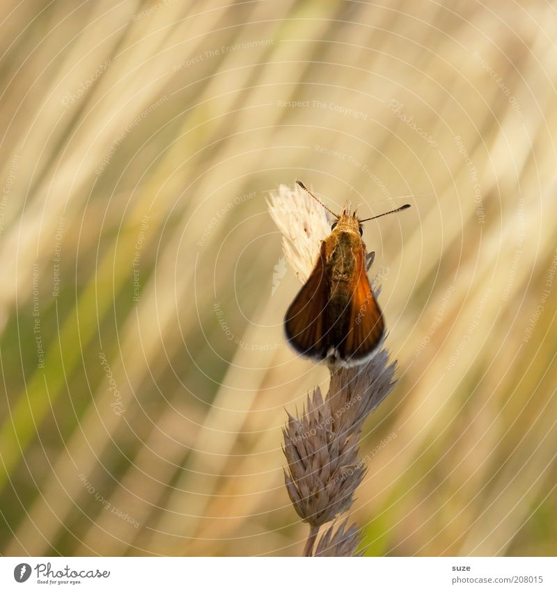 Old butterfly Environment Nature Plant Animal Summer Beautiful weather Grass Meadow Wild animal Butterfly Wing 1 Sit Esthetic Friendliness Small Sustainability