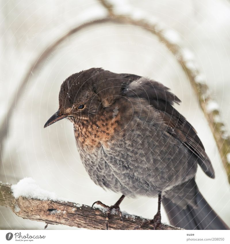under the hood Environment Nature Plant Animal Winter Wild animal Bird 1 Sit Sadness Wait Cuddly Small Cute Brown Gray Feather Song Songbirds Twig Beak