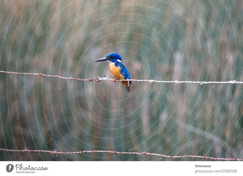 temporise Trip Adventure Far-off places Freedom Environment Nature Coast Lakeside River bank Animal Wild animal Bird Animal face Wing Kingfisher 1 Observe Small