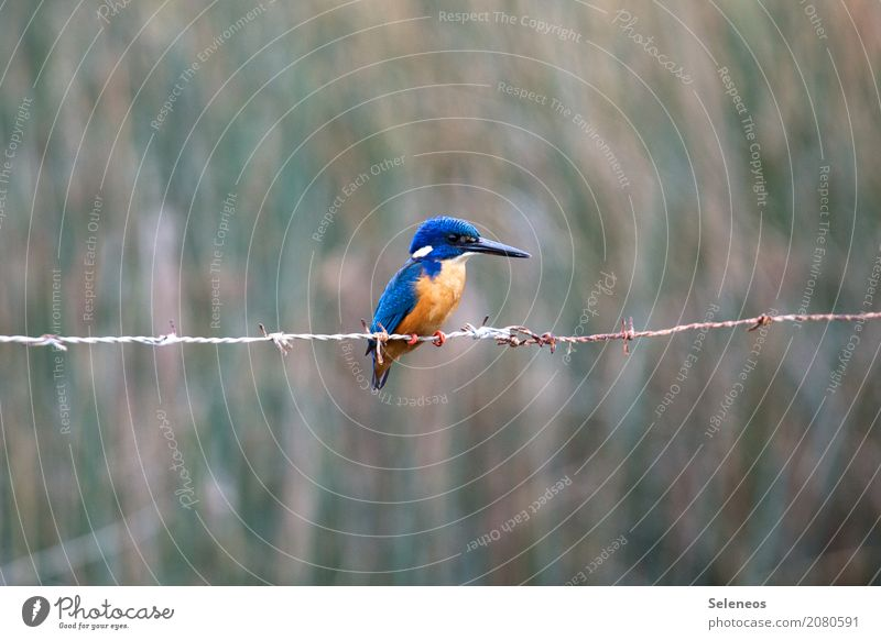 blue gold Trip Freedom Safari Nature Coast Lakeside River bank Animal Wild animal Bird Animal face Kingfisher 1 Exotic Near Natural Colour photo Exterior shot