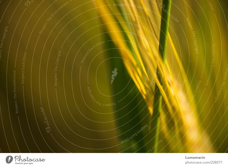 interdependencies Grain Environment Nature Plant Summer Grass Agricultural crop Esthetic Thin Long Near Natural Beautiful Colour photo Detail Deserted