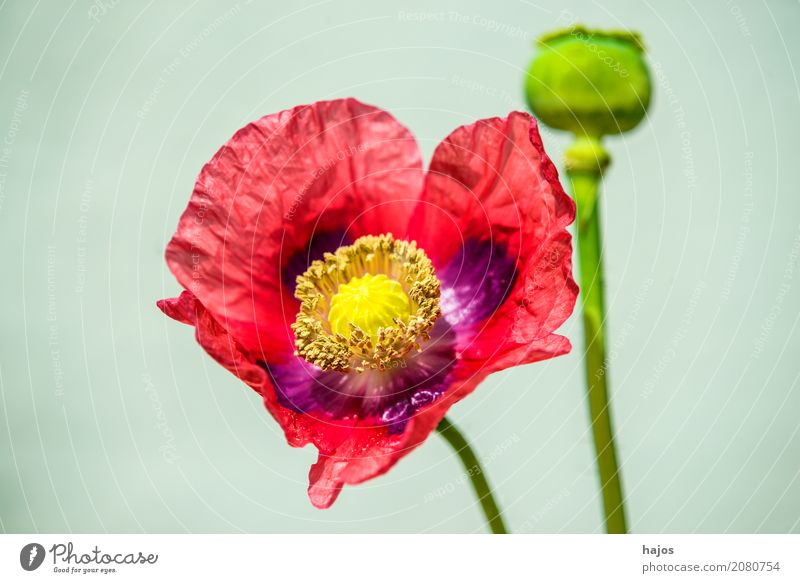 Opium poppy, flower and capsule Intoxicant Medication Plant Blossom Violet Addiction Poppy Capsule opium Alkaloid narcotic pharmacy Poison Asia Close-up