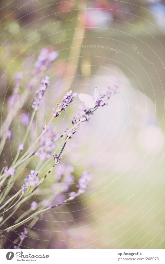 Nature Flower Plant Summer Animal Spring Garden Bright Violet Wing Butterfly Blossoming Beautiful weather Herbs and spices Lavender Spring fever