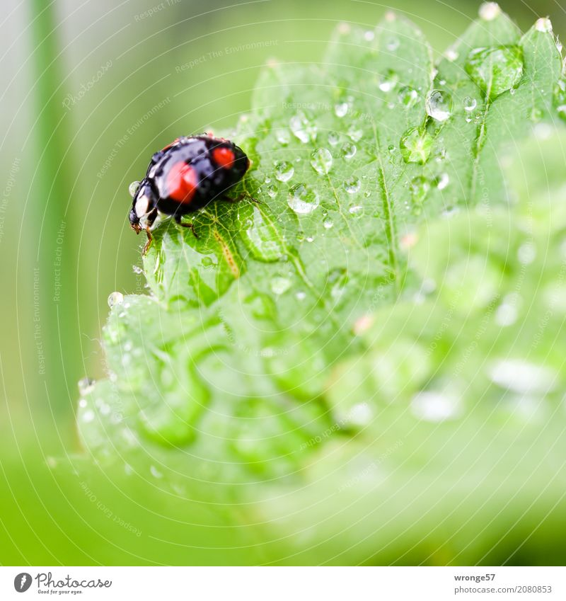 Rain Beetle II Plant Animal Summer Garden Farm animal Wild animal Ladybird 1 Crawl Small Green Red Black Insect Diminutive Black-red Spotted Drops of water Leaf