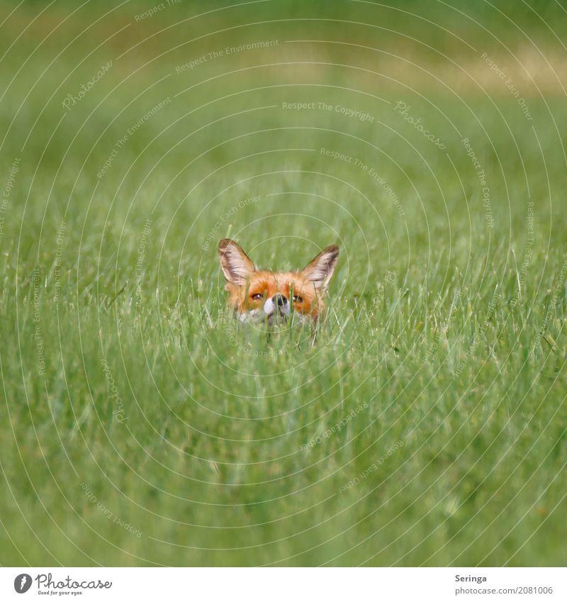 Animal Field Wild animal Pelt Hunting Animal face Fox Red fox