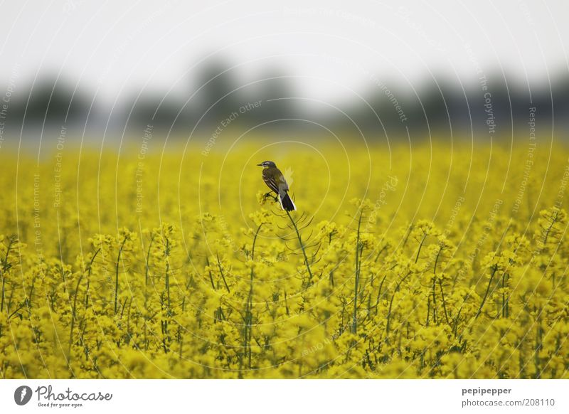 bird watched Nature Landscape Plant Summer Blossom Agricultural crop Field Animal Wild animal Bird 1 Yellow Overview Subdued colour Exterior shot Dawn Blur