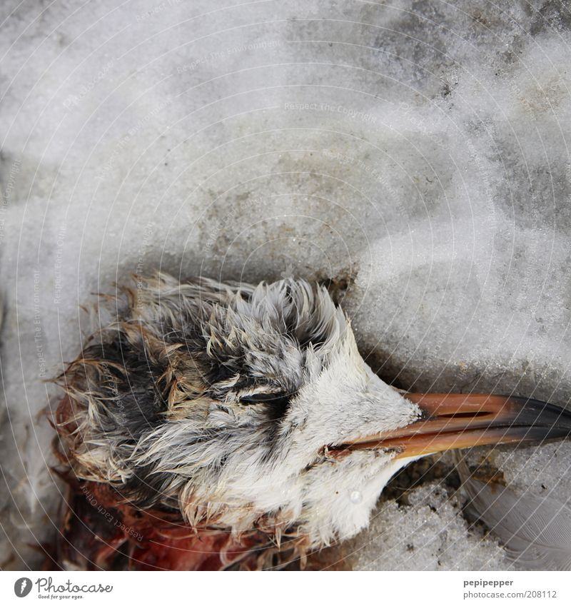 icy death Winter Climate Climate change Weather Bad weather Ice Frost Snow Animal Dead animal Bird 1 Gray Red Freeze to death Colour photo Exterior shot Detail