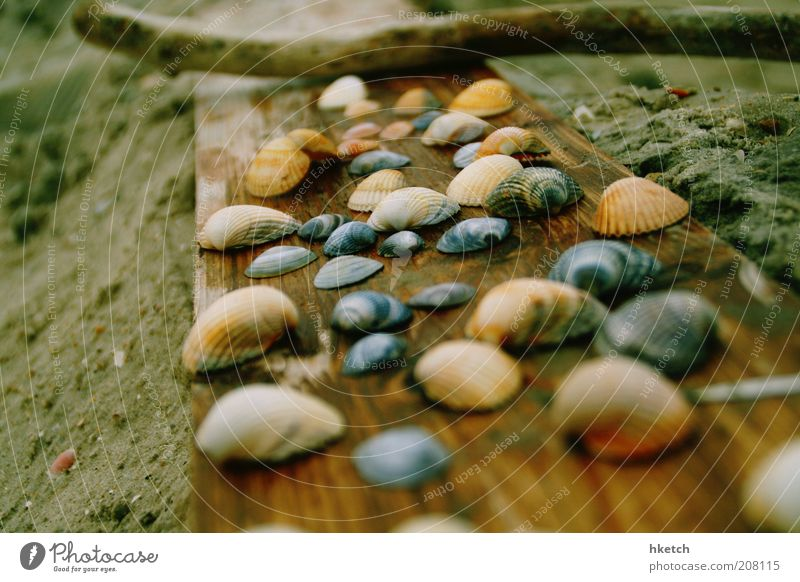 shell snuggle group Sand Beach Mussel Wooden board Stick Collection Colour photo Exterior shot Close-up Copy Space left Day Blur Shallow depth of field