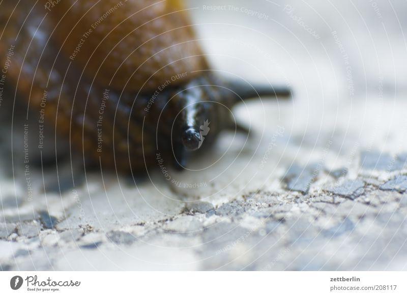 Eyes Animal Brown Boredom Snail Feeler Crawl Macro (Extreme close-up) Slowly Slimy Pests Movement Mollusk Slug Stone floor